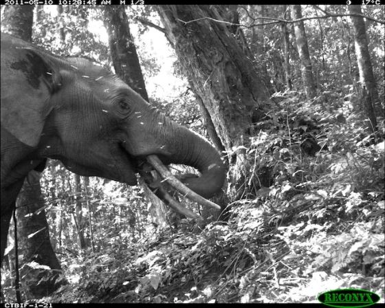 Camera trap Afrikaanse olifant