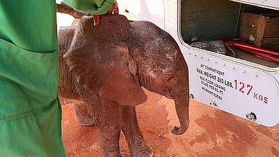 Pasgeboren olifantje Ajabu