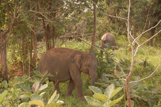 Olifanten Sri Lanka - olifanteritjes