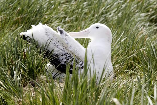 Albatros op nest