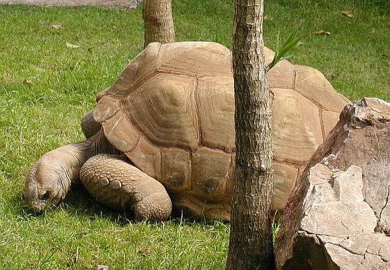 Aldabra schildpad
