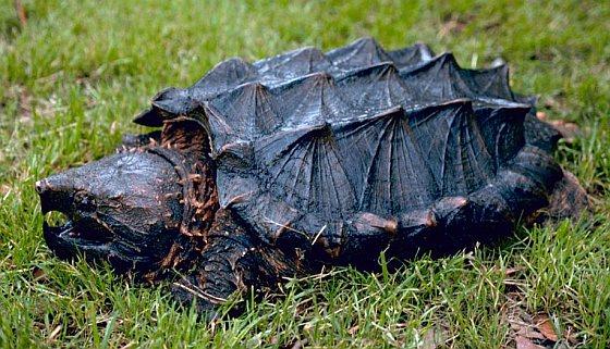 Alligatorschildpad - schildpadhandel