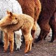 Massasterfte van alpaca's in Peru door kou