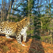 Amoerluipaarden en -tijgers vertonen grensoverschrijdend gedrag