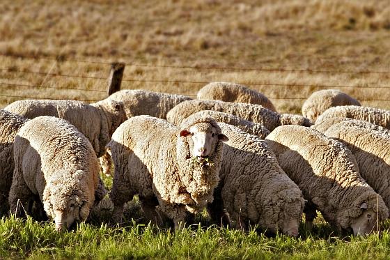 Australische schapen - UGGS