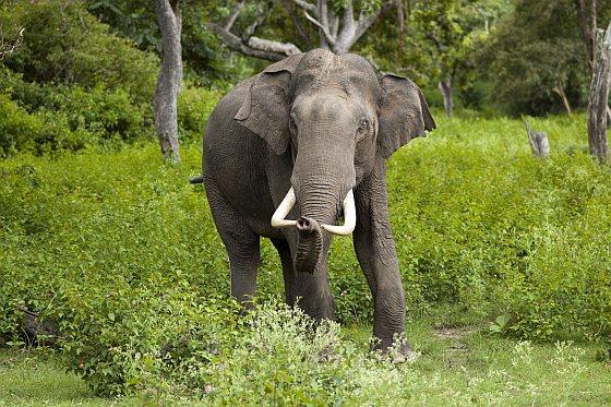 Aziatische olifant heroïne