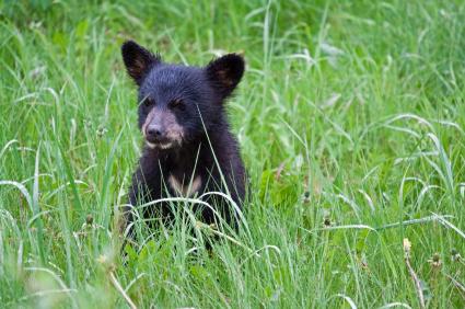 Baby zwarte beer