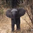 #GNvdD: Moedige babyolifant beschermt moeder (video)