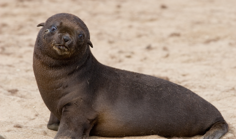Baby zeehonden