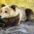 GNvdD: Eenzame Albanese beer gered uit kooi