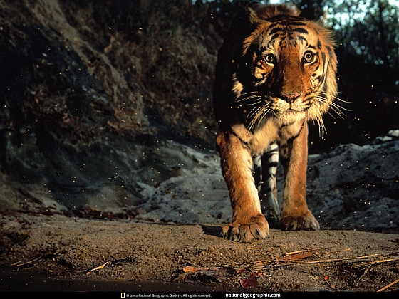 Bengaalse tijger India