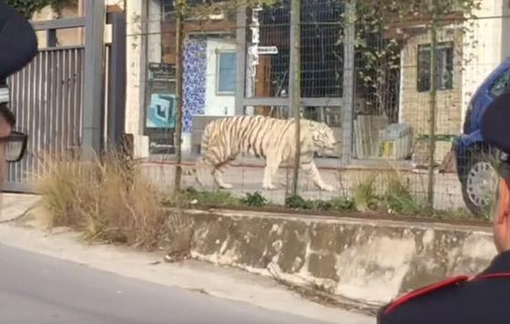 Bengaalse tijger ontsnapt