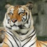 Bengal Tiger - exotische dieren