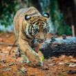Krimpende genenpoel extra bedreiging voor Bengaalse tijger