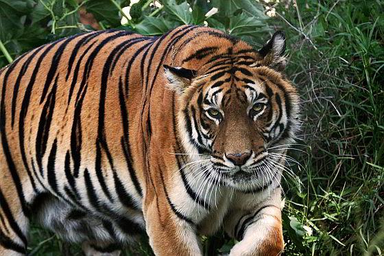 tijgerboerderijen