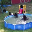 #GNvdD: Berenfamilie neemt verkoelende duik in kinderzwembad (video)
