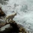 #GNvdD: Jonge berggeit trotseert woeste rivier (video)