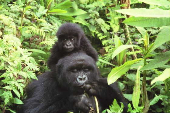 Berggorilla met jong Virunga