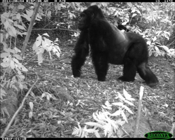 Camera trap berggorilla
