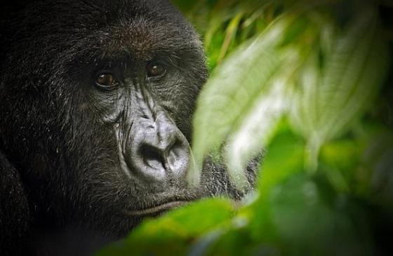 exploitatie Virunga