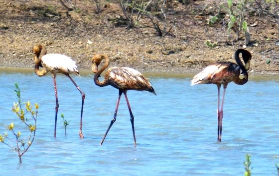 Besmeurde flamingo's