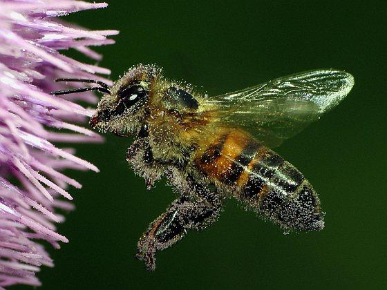 bijenmakelaar
