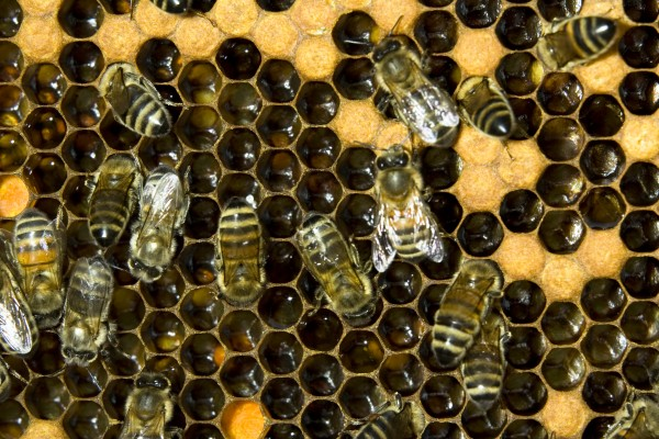 Bijen bijenkasten