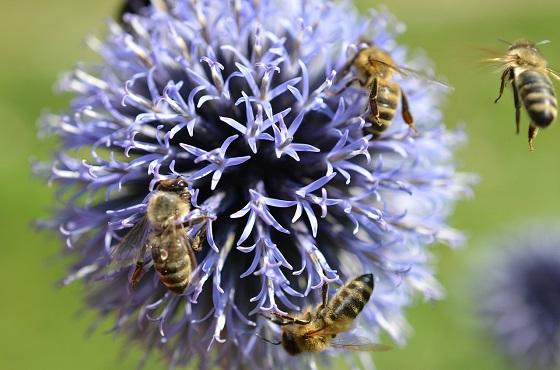 wilde bijensoorten