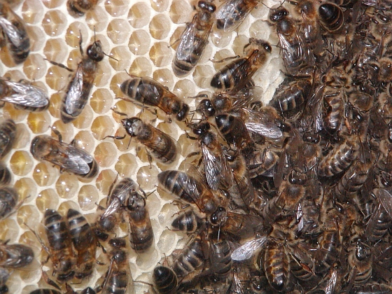 Bijen - management-goeroe