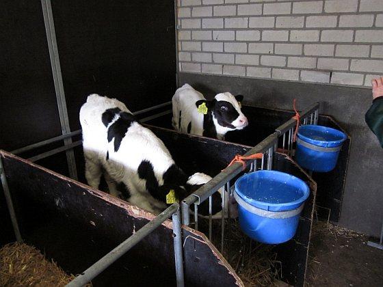 Biologische melkveehouderij - kalveren