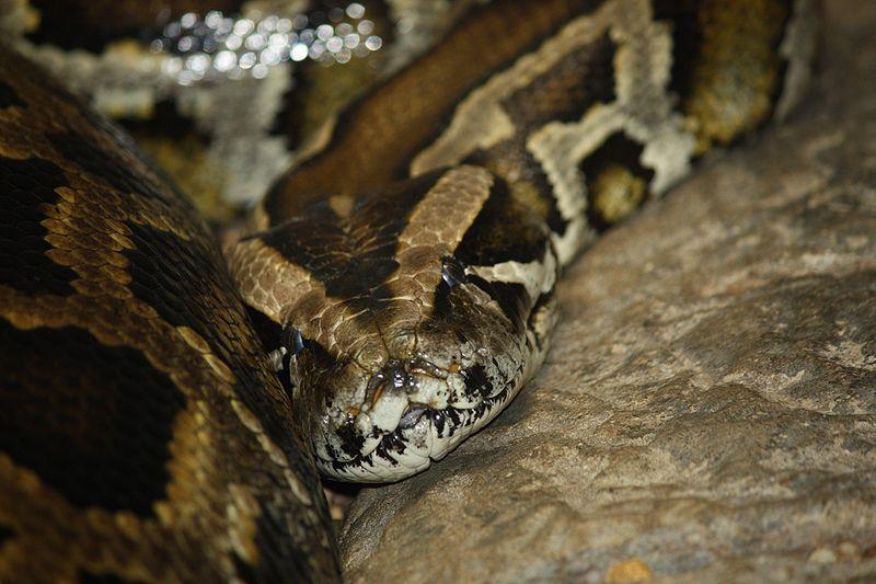 Birmese Python
