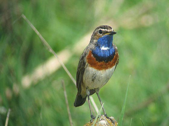 Ook vogels de dupe van veehouderij - Blauwborst