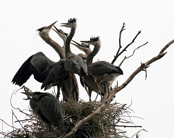 Reigers op nest