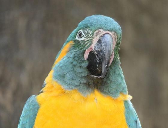 blauwkeel-ara papegaai