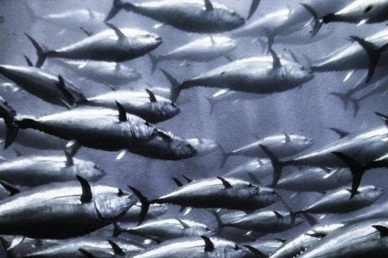 Blauwvintonijn - tonijnen
