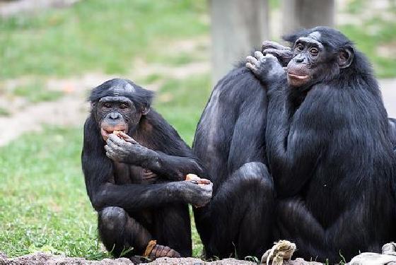 bonobopersoonlijkheden