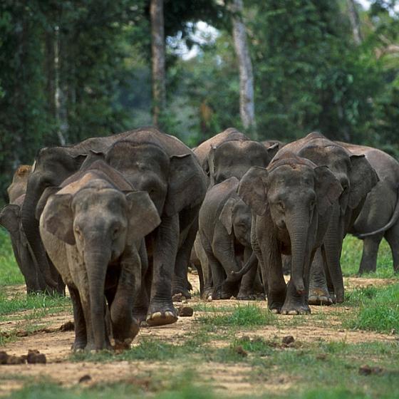 Groep Borneo-dwergolifanten