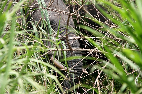 Bosolifanten