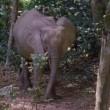Olifanten houden het regenwoud in stand (video)