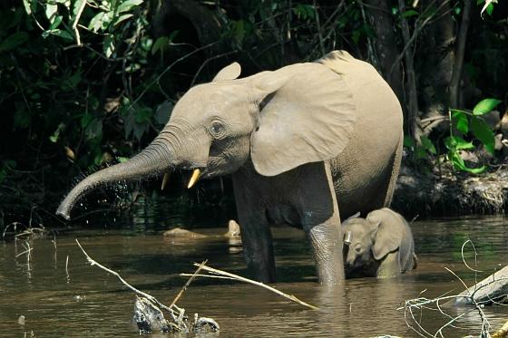 Bosolifant met jong Gabon