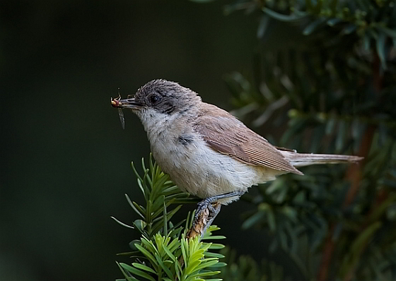 Europese wetgeving bedreigt trekvogels