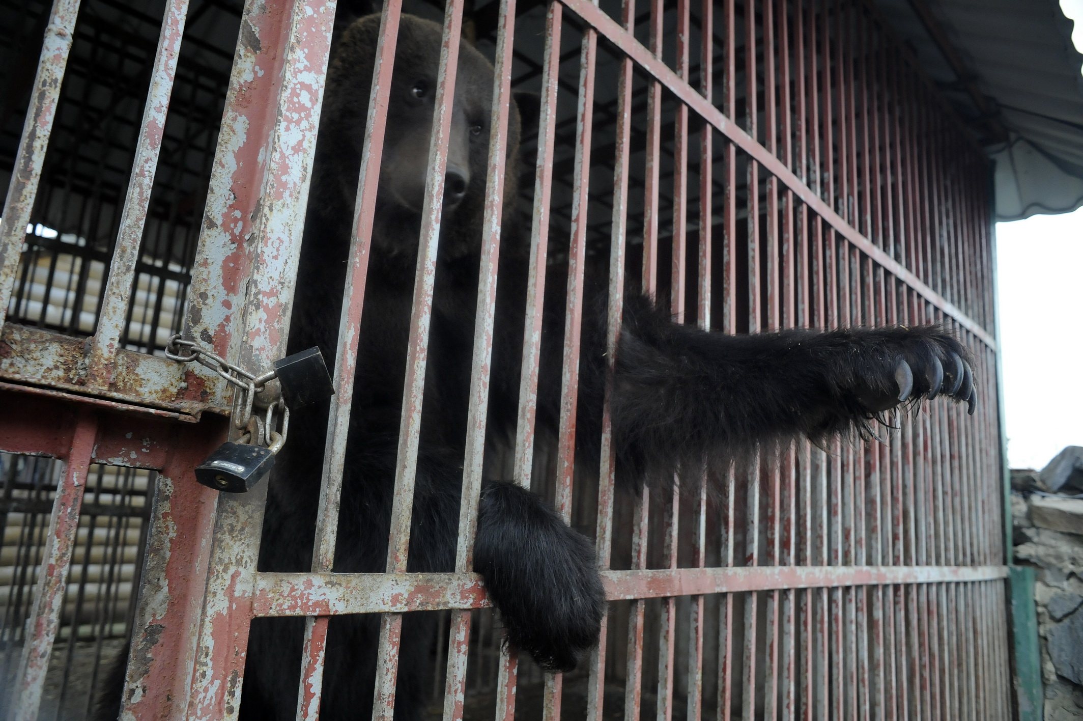 Bruine beer achter tralies Oekraïne dierentuin