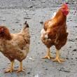 Kippen komen om het leven door ongeluk op A50
