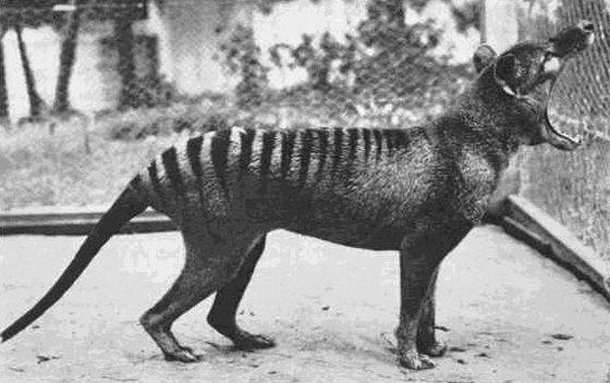 Buidelwolf - Tasmaanse-tijger