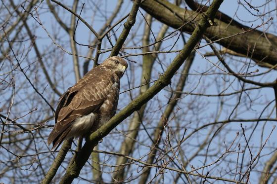 Buizerd - roofvogels