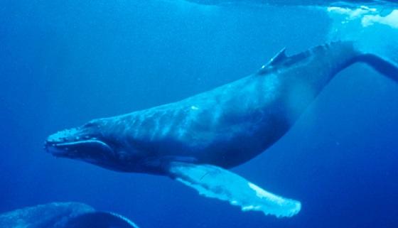 verstrikte walvis