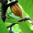 Hoeveel regenwoud zit er in je chocoladereep?