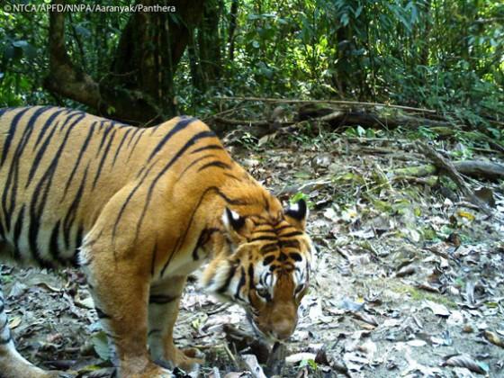 Bengaalse tijger - Nepal