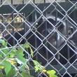 Chimpansee Candy zit meer dan 40 jaar alleen in een kooi