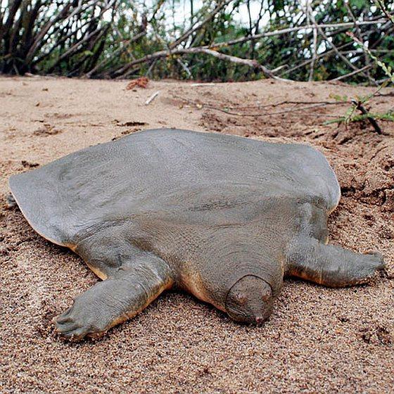 Cantors reuzenweekschildpad